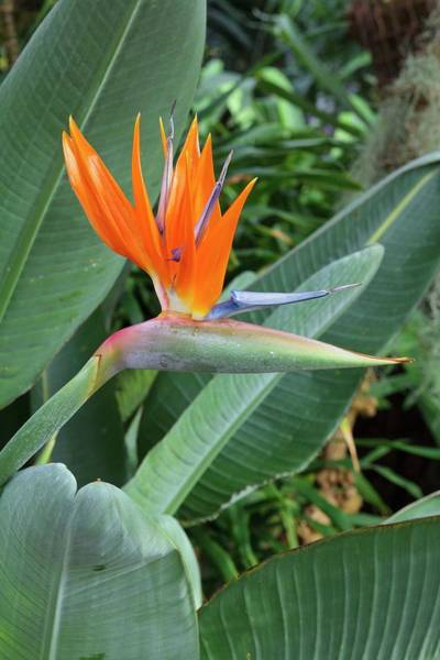 Wall Art - Photograph - Strelitzia Reginae by Geoff Kidd/science Photo Library