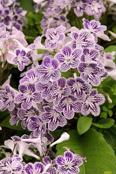 Polka Dots Photograph - Streptocarpus 'polka-dot Purple' by Adrian Thomas/science Photo Library