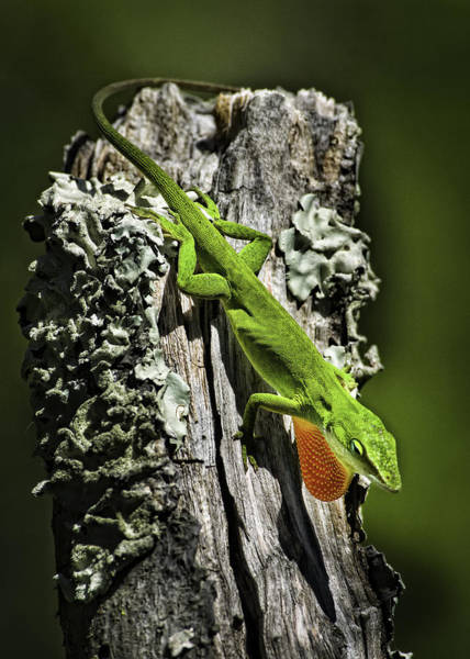 Stressed Anole Art Print