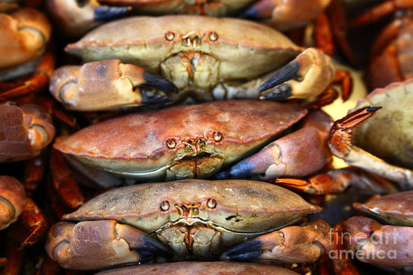 Photograph - Stressed Out Crabs by James Brunker
