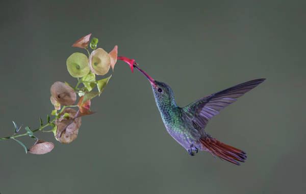 Humming Bird Wall Art - Photograph - Stretch by Greg Barsh