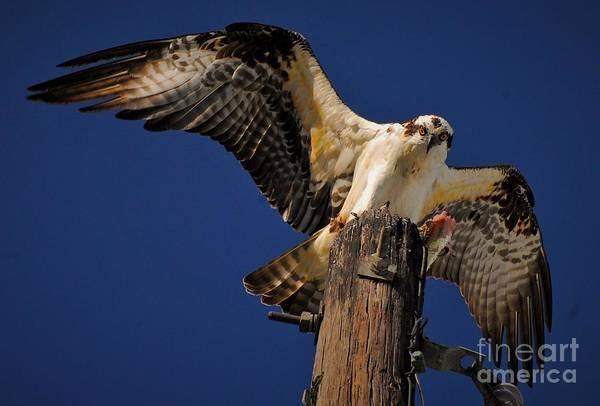 Fish Eagle Photograph - Stretch by Quinn Sedam