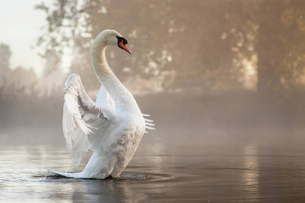 Swan Photograph - Stretching Swan by Kevin Day