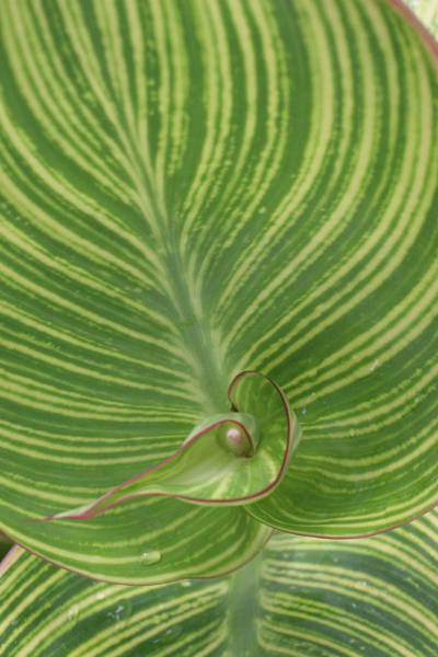 Anna Photograph - Striped Canna Leaf Abstract by Anna Miller