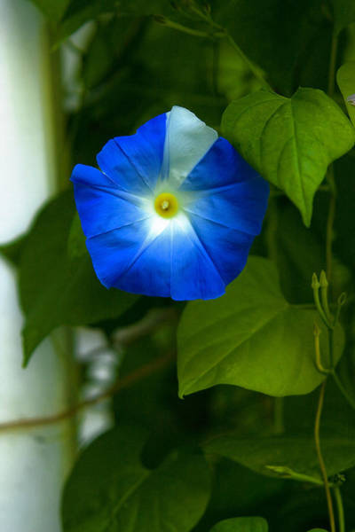 Photograph - Striped Morning Glory by Robert Clifford