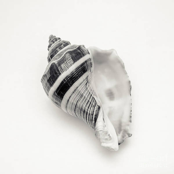 Seashell Photograph - Striped Sea Shell 2 by Lucid Mood