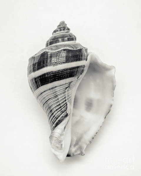 Oceans Photograph - Striped Sea Shell by Lucid Mood