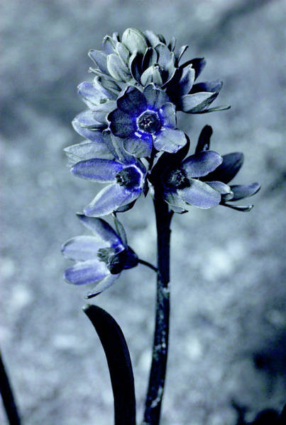 Corolla Photograph - Striped Squill In Uv Light by Bjorn Rorslett/science Photo Library