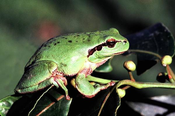 Hyla Wall Art - Photograph - Stripeless Tree Frog by Brian Gadsby/science Photo Library