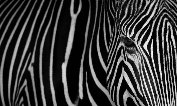 Zebra Pattern Photograph - Stripes by Sergio Saavedra Ruiz