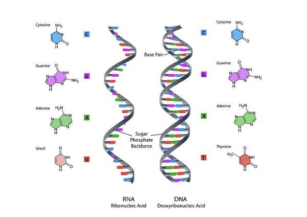 Genetic Code Photograph - Structure Of Rna And Dna by Gunilla Elam