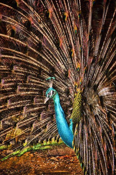 Wall Art - Photograph - Strutting Peacock by David Smith