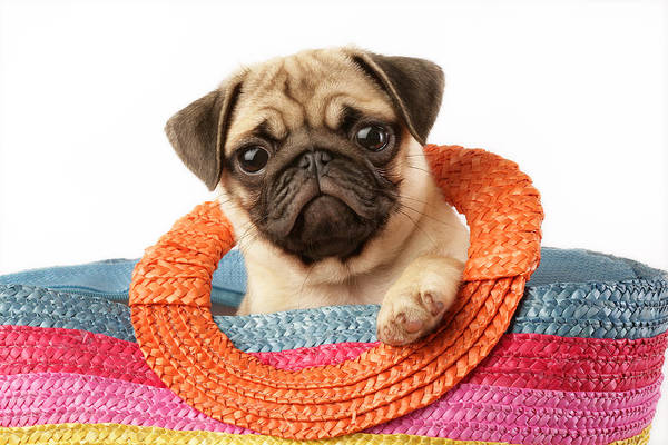 Pug Photograph - Stuck Pug by MGL Meiklejohn Graphics Licensing