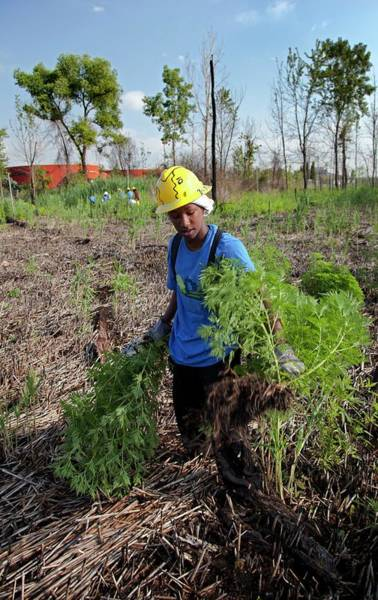 Introduced Species Photograph - Student Removing Invasive Plants by Jim West