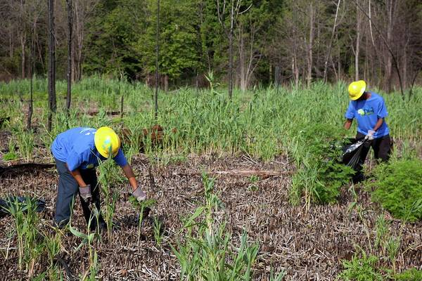 Introduced Species Photograph - Students Removing Invasive Plants by Jim West