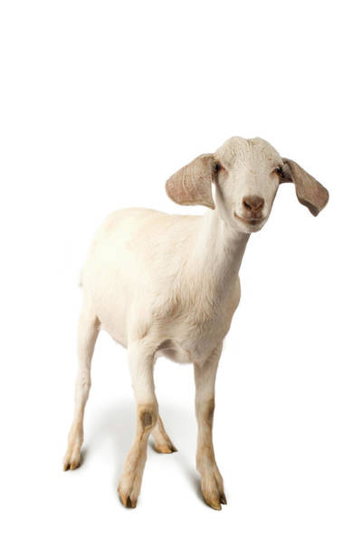 Hoof Photograph - Studio Portrait Of A Mixed-breed Goat by Michael Winokur