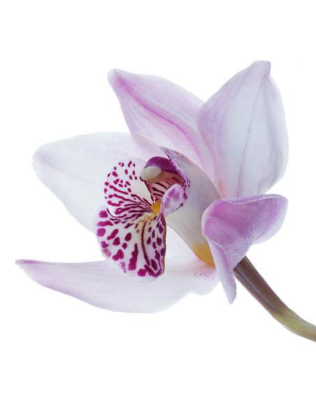 Cymbidium Photograph - Studio Shot Of A Cymbidium Orchid On A by Margaret Rowe