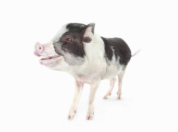 Pig Photograph - Studio Shot Of A Pig Smiling And by Michael Duva