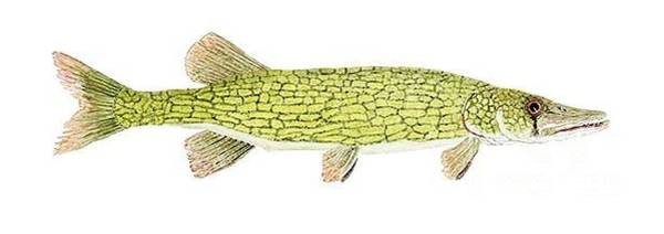 Painting - Study Of A Chain Pickerel by Thom Glace