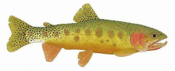 Study Of A Rio Grande Cutthroat Trout Art Print
