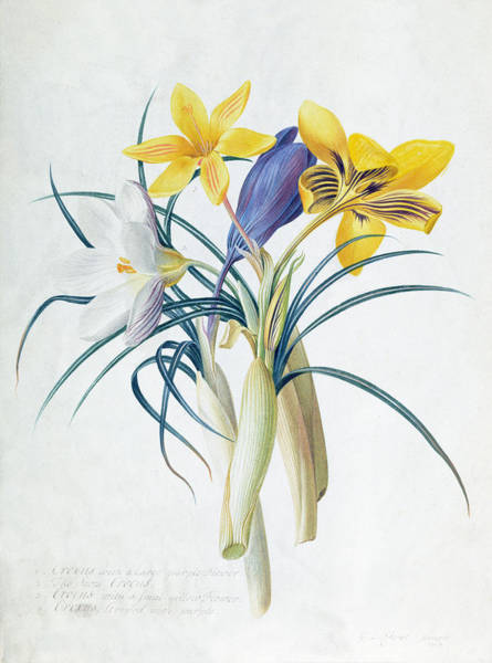 Wall Art - Painting - Study Of Four Species Of Crocus by Georg Dionysius Ehret