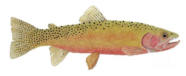 Study Of The Greenback Cutthroat Art Print