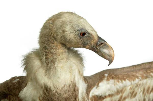 Natural History Photograph - Stuffed Eurasian Griffon Vulture by Natural History Museum, London/science Photo Library