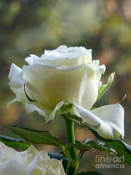 Photograph - Stunning Rose by Lance Sheridan-Peel