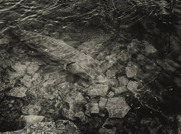 Sturgeon River Photograph - Sturgeons On The Wolf by Thomas Young