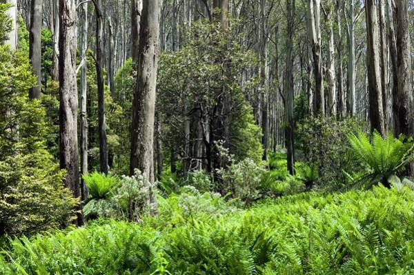 Eucalyptus Photograph - Sub-alpine Forest by Dr Jeremy Burgess/science Photo Library