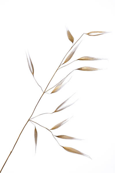 Wheat Wall Art - Photograph - Subtle Delicateness by Shogun