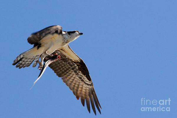 River Hawk Photograph - Success by Quinn Sedam