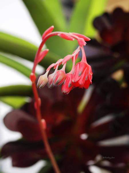 Photograph - Succulent 2 by Xueling Zou