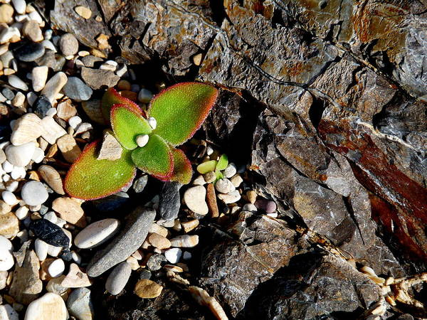 Photograph - Succulent And Rock by Jeff Lowe