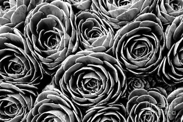 Photograph - Succulent Circles by James Brunker