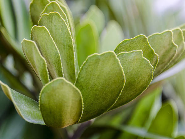 Photograph - Succulent Green by Carolyn Marshall