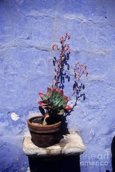 Photograph - Succulent Blue by James Brunker