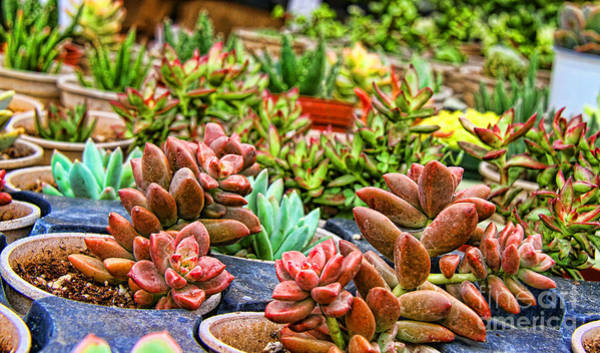 Photograph - Succulents By Diana Sainz by Diana Raquel Sainz