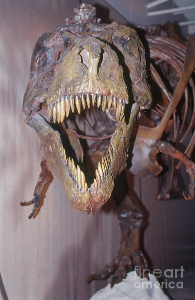 Photograph - Sue The Tyrannosaurus Rex by Millard H. Sharp
