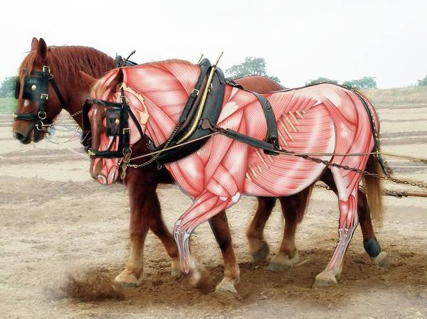 Draft Horses Photograph - Suffolk Punch Horse Breed by Samantha Elmhurst/science Photo Library