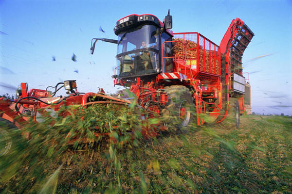 Beet Wall Art - Photograph - Sugar Beet Harvesting by Mauro Fermariello/science Photo Library