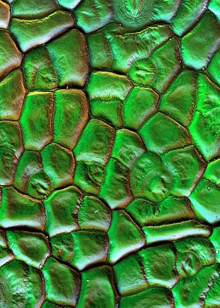 Beet Wall Art - Photograph - Sugar Beet Leaf Surface by Stefan Diller