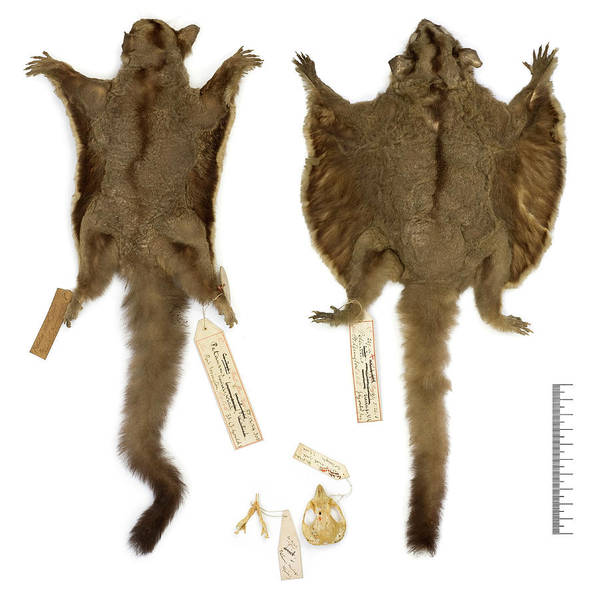 Glider Wall Art - Photograph - Sugar Glider Specimens by Natural History Museum, London/science Photo Library