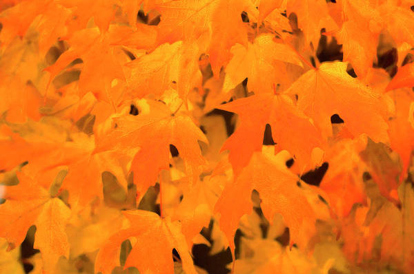 Acer Saccharum Photograph - Sugar Maple (acer Saccharum) by Maria Mosolova/science Photo Library