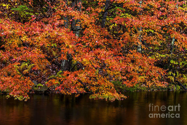 Acer Saccharum Photograph - Sugar Maple And Pond by Thomas R Fletcher
