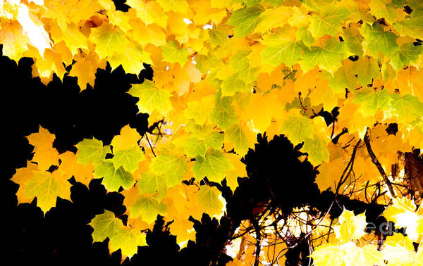 Acer Saccharum Photograph - Sugar Maple Autumn Foliage, Quincy California by Tirza Roring