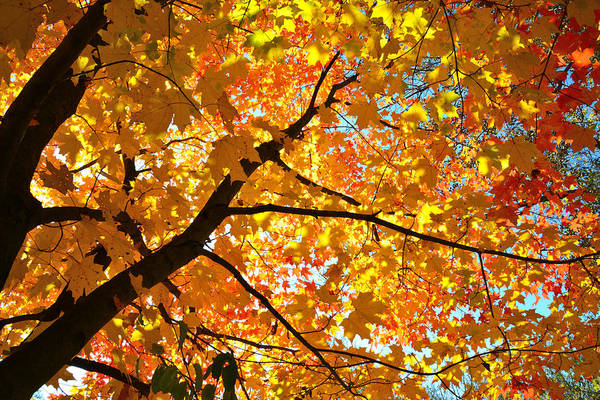 Photograph - Sugar Maple Canope by Ray Mathis