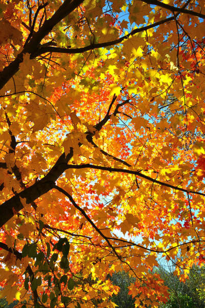 Photograph - Sugar Maple Crown by Ray Mathis