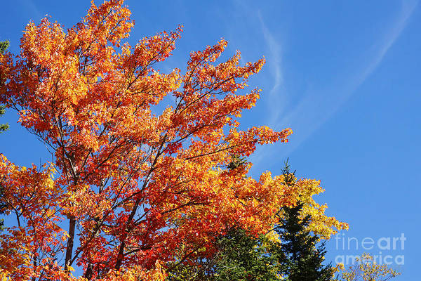Acer Saccharum Photograph - Sugar Maple During Fall by Sylvie Bouchard