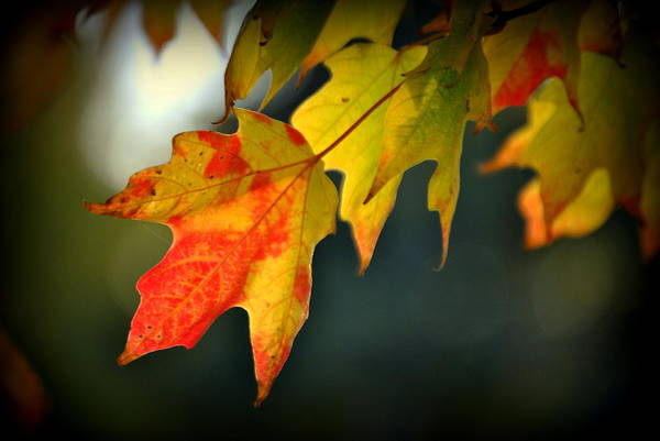 Acer Saccharum Photograph - Sugar Maple Fall Colors by Nathan Abbott